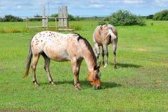 Apaloosa Horses Grazing in Pasture Royalty Free Stock Photos
