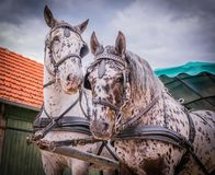 Apaloosa horses pull a carriage royalty free stock photography