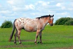 apaloosa koń zdjęcie royalty free