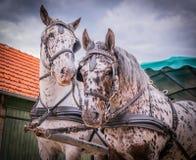 Apaloosa konie ciągną fracht fotografia royalty free