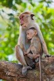 Apamodern med en behandla som ett barn sitter på ett träd Sri Lanka Arkivfoton