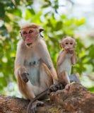 Apamodern med en behandla som ett barn sitter på ett träd Sri Lanka Arkivbilder