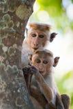 Apamodern med en behandla som ett barn sitter på ett träd Sri Lanka Royaltyfri Foto