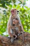 Apamodern med en behandla som ett barn sitter på ett träd Sri Lanka Royaltyfria Bilder