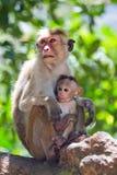 Apamodern med en behandla som ett barn sitter på ett träd Sri Lanka Royaltyfria Foton