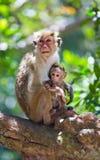 Apamodern med en behandla som ett barn sitter på ett träd Sri Lanka Fotografering för Bildbyråer