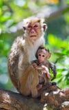 Apamodern med en behandla som ett barn sitter på ett träd Sri Lanka Arkivfoto