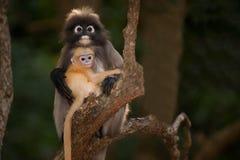Apamodern och hon behandla som ett barn på trädet (den Presbytis obscuraen reid). Royaltyfri Fotografi