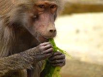 Apan äter havsväxt i zoo i augsburg arkivbilder