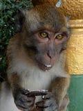Apan äter Oreo arkivbilder