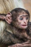 Apan behandla som ett barn Royaltyfri Fotografi