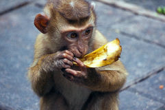 Apan behandla som ett barn med bananen Royaltyfri Bild