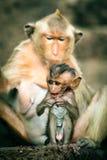 apan för macaquen för den kusthainan ön härmar den nanwan naturen skyddade södra tillståndet för reserven Arkivbild