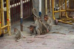 Apan i stad av Indien Fotografering för Bildbyråer