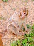 Apan i zoo parkerar Royaltyfri Foto