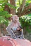 apan och hennes små behandla som ett barn i nationalparken som krabba-äter macaquen Arkivbild