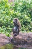 apan och hennes små behandla som ett barn i nationalparken som krabba-äter macaquen Royaltyfria Foton