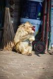 Apan på gatorna äter mat Royaltyfri Foto