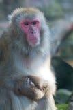 Apan rynkar pannan Royaltyfri Foto