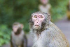 Apan ser turister i den Zhangjiajie medborgaren Forest Park Arkivfoto
