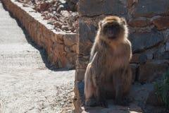 Apan sitter på en jordning royaltyfria bilder