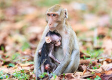 Apan (som Krabba-äter macaquen) som ammar, behandla som ett barn Arkivfoto