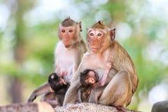 Apan (som Krabba-äter macaquen) som ammar, behandla som ett barn Fotografering för Bildbyråer