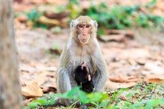 Apan (som Krabba-äter macaquen) som ammar, behandla som ett barn Royaltyfri Bild