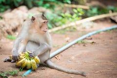 Apan tar en grupp av bananer Arkivbild