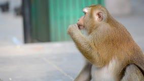 Apan tar en mutter från händerna av en flicka stock video