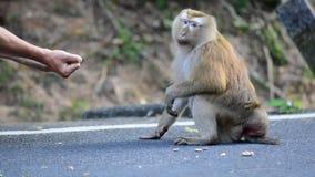 Apan tar en mutter från händerna av en man arkivfilmer