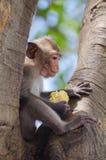 Apan tycker om att äta Royaltyfri Fotografi