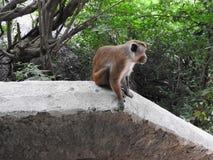 Apan tycker om en dag i grottorna av Dambulla i Sri Lanka arkivfoto