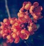 Apanese柑橘 库存图片