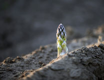 Aparagus verde Imagenes de archivo