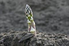 Aparagus verde Imágenes de archivo libres de regalías