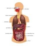 Aparato gastrointestinal humano Foto de archivo libre de regalías