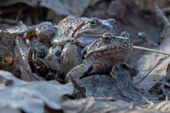 Apareamiento de ranas Foto de archivo