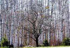 Aparece um verde macio As árvores estão preparando-se despertando foto de stock royalty free