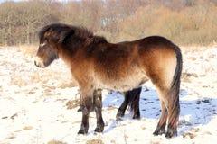 Aparentemente seis cavalos selvagens equipados com pernas na neve Foto de Stock Royalty Free