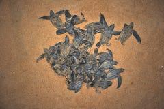 Aparición del tutle del mar de Leatherback Foto de archivo libre de regalías