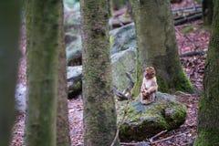 Apaskog - begynnande apa i skogen royaltyfri fotografi
