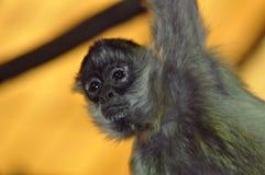 apaspindel Fotografering för Bildbyråer