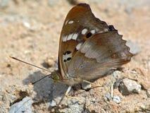 Apatura Ileia. Stock Afbeeldingen