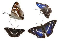 Apatura iris. A set of four butterflies Royalty Free Stock Photos