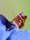 Apatura iris. Butterfly on green background Stock Photography