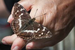 Apatura iris on the finger_butterfly Royalty Free Stock Photography