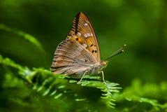 Apatura metis on the plants. Apatura metis , Freyer`s Purple Emperor , Trakya Imparatoru , plants , Nymphalidae , iucn red list , natüre Stock Photography