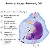 APC en inmunorespuesta Imagen de archivo libre de regalías