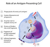 APC in immune response. 6 steps from phagocytosis to antigen presentation by an APC, eps8 Royalty Free Stock Image